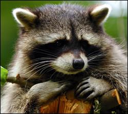raccoon control Saginaw