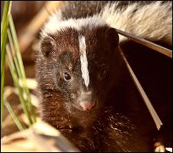 skunk control Saginaw